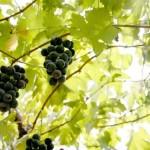 【関東のフルーツ狩り】秋の味覚を楽しめる人気の農園ランキング!
