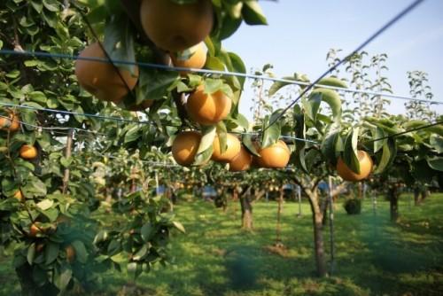 image003 1 500x334 【関東のフルーツ狩り】秋の味覚を楽しめる人気の農園ランキング!