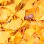 銀杏が匂う原因とおいしく食べる調理方法4選|食べ過ぎると死ぬって本当?