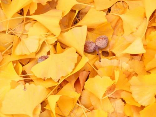 18 500x375 銀杏が匂う原因とおいしく食べる調理方法4選|食べ過ぎると死ぬって本当?
