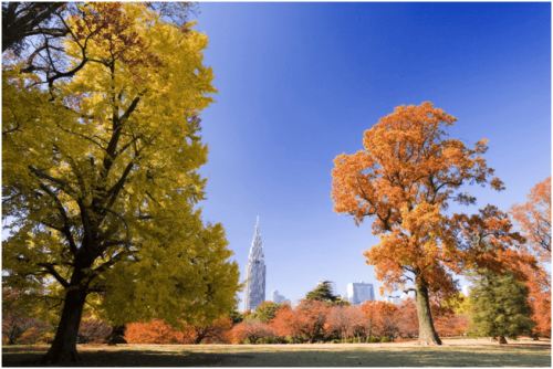 1 500x334 新宿御苑の紅葉の時期と3つの見どころ|入園料金と駐車場情報まとめ