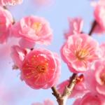 【梅の見ごろ】関東ではいつ咲くの?開花時期と名所3選!