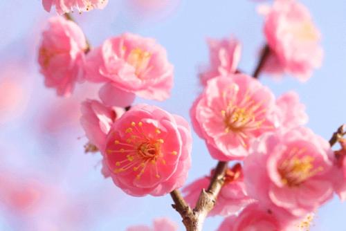 image001 500x334 【梅の見ごろ】関東ではいつ咲くの?開花時期と名所3選!