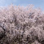 六義園の桜2017!混雑の避け方と入園料やアクセス情報まとめ