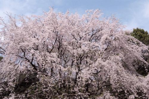 image0016 500x334 六義園の桜2017!混雑の避け方と入園料やアクセス情報まとめ
