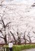 【目黒川のお花見】2017年屋台やイベント情報!クルーズの料金や出航場所は?