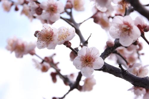 image003 500x333 【梅の見ごろ】関東ではいつ咲くの?開花時期と名所3選!