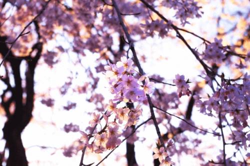 image0034 500x332 六義園の桜2017!混雑の避け方と入園料やアクセス情報まとめ