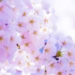 桜の種類は?お花見の由来と代表的な桜の特徴まとめ