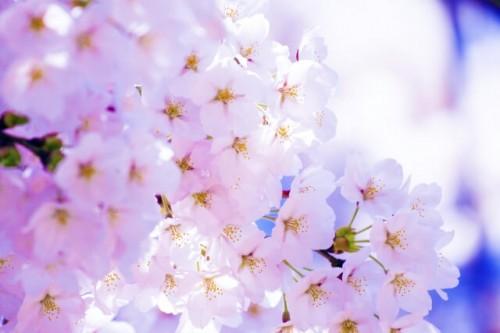 13 500x333 桜の種類は?お花見の由来と代表的な桜の特徴まとめ