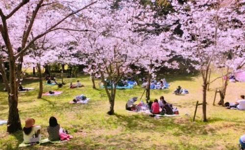 23 500x306 桜の種類は?お花見の由来と代表的な桜の特徴まとめ