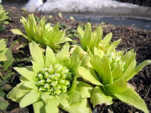 2a1 500x375 【春の山菜】種類と特徴まとめ|美味しい食べ方もご紹介♪