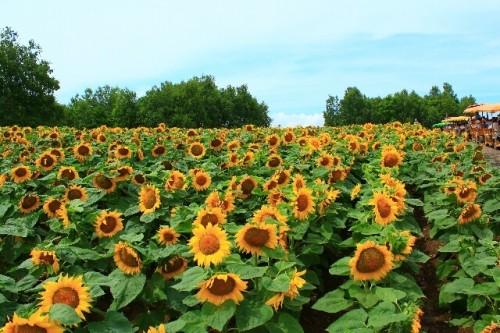 1 110 500x333 地域によって夏至の食べ物は違うの?関東、関西、四国の異なる風習とは?