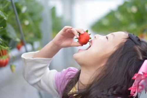 1 15 500x333 北海道イチゴ狩り|食べごろの時期はいつ?2017年人気ランキング!