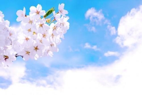 11 500x333 【桜の開花宣言】基準は何?誰が決めるの?各地の測定場所は?