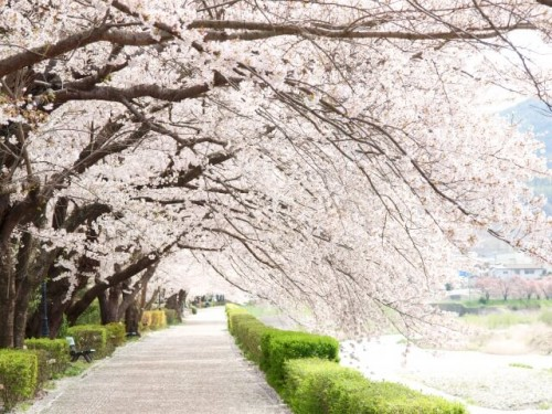 31 500x375 【桜の開花宣言】基準は何?誰が決めるの?各地の測定場所は?